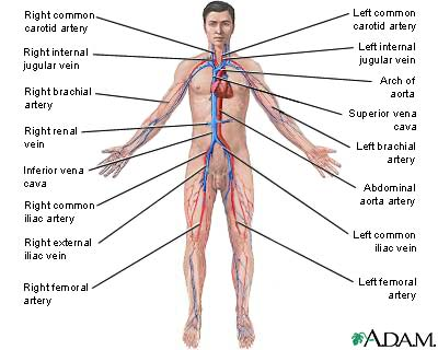 circulatory system diagram to label. circulatory system diagram not
