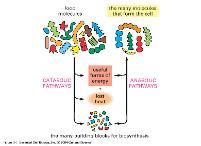 Catabolic Anabolic X